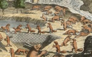 Chatelain's map - beavers